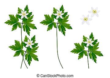 fleur, printemps, isolé, arrière-plan., blanc, perce-neige