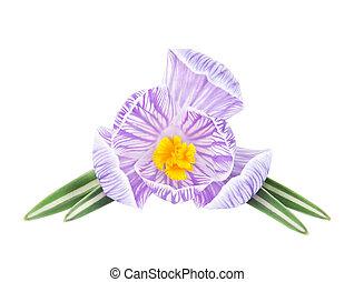 fleur, printemps, isolé, colchique, fond, blanc