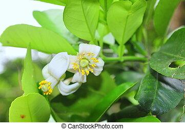 fleur, printemps, pamplemousse, temps
