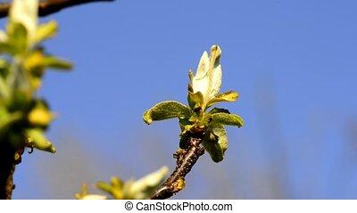 fleur, printemps, poire, allemagne