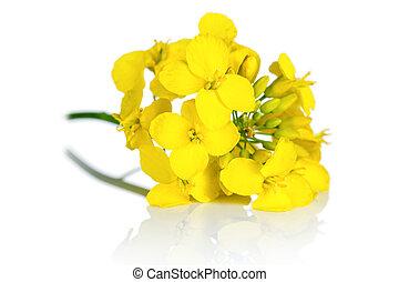 fleur, rapeseed