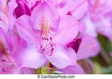 fleur rose, closeup, azalée