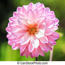fleur rose, coloré, texture, fond, dahlia