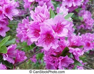 fleur rose, feuilles, pétales, buisson, fleurir, azalée