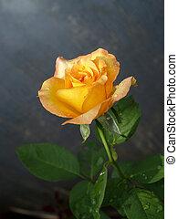 fleur, rose