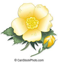 fleur, rose jaune, sauvage