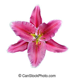 fleur rose, lis, isolé, fond, blanc, ouvert