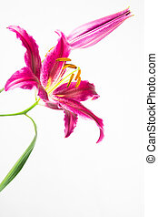 fleur rose, lis, profond, astronome