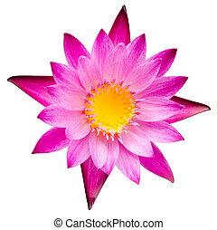 fleur rose, lotus, eau, fleur, fleurir, lis, ou