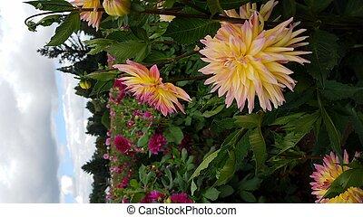 fleur rose, pétales, feuilles, champ jaune, vert, dahlia