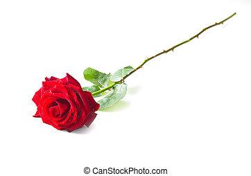 fleur, rose rouge seule