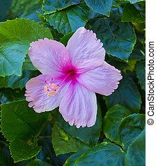 fleur rouge, hibiscus