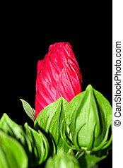fleur, rouge noir, fond