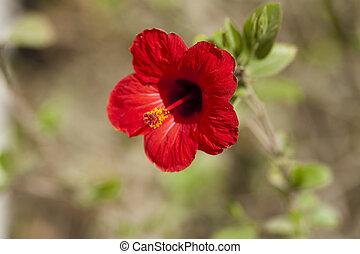 fleur, rouges, hibiscus