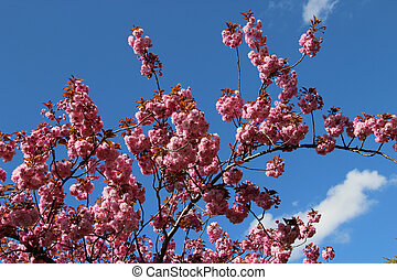 fleur, sakura