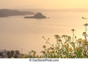 fleur, silhouette, margaret, matin, arrière-plan., littoral, temps