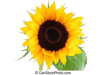 fleur soleil, collection