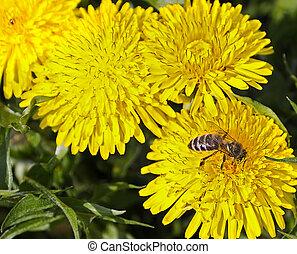 fleur source, abeille, nectar