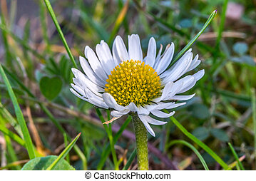 fleur source, après-midi, pâquerette