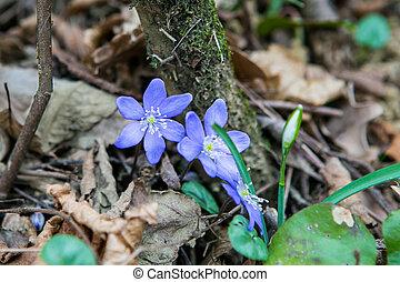 fleur source, forêt, safran, colchique