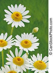 fleur source, pâquerette