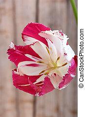 fleur source, tulips., rouges
