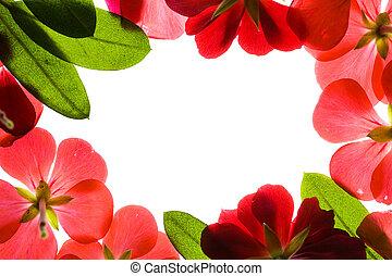 fleur, sur, fond, blanc, cadre, rouges