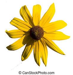 fleur, sur, isolé, fond, pâquerette, blanc