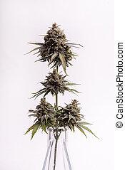 fleur, sur, strain), isolé, détail, cannabis, fond, (cbd, blanc, rêve