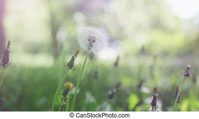 fleur, têtes, vent, motion., déplacé, bokeh, lumière soleil, jouer, éclats (flares), surprenant, lent, fond, pissenlit, légèrement, rond, 1920x1080