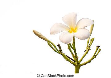 Exotique Frangipanier Fleur Blanche Plumeria Fleur Plumeria