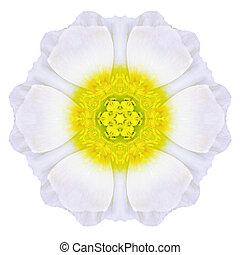 fleur, uni, isolé, pâquerette, blanc, mandala, concentrique
