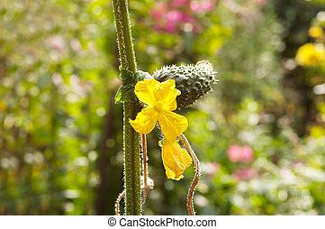 fleur unique, concombre