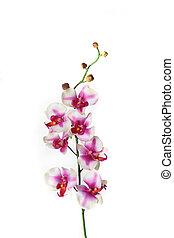 fleur unique, tige, orchidée