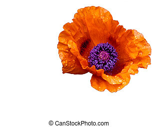 fleur, visible, gouttelettes, eau, pétales, 2, pavot, fleur