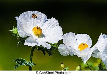 fleur, voler, abeille, miel, épineux, closeup, pavot, wildflower, blanc, texas