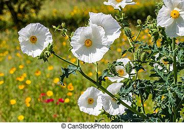 fleur, wildflower, closeup, pavot, blanc, texas, épineux