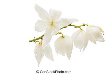 fleur, yucca