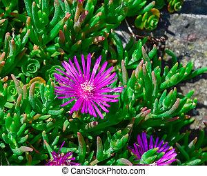fleurir, figure, jardin, ou, plante, australien, rocher, cochon, arrière-cour, fleur, karkalla, paysage