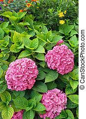 fleurir, hortensia, macrophylla, jardin, arbrisseaux
