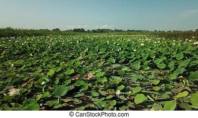 fleurir, krasnodar, stockage, aérien, bourdon, krai, métrage, lotuses, russia., lac, route