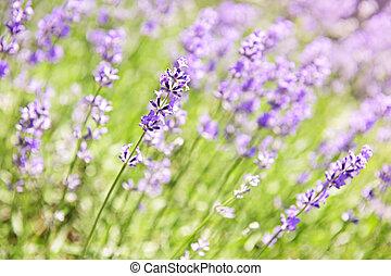 fleurir, lavande, jardin