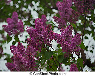 fleurir, lilas, temps ressort, arbre, violet, pendant, fleurs