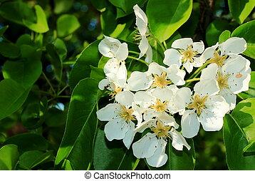 fleurir, poire, branche