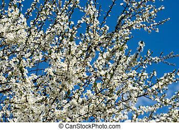 fleurir, prune, blanc, dense, arbrisseau