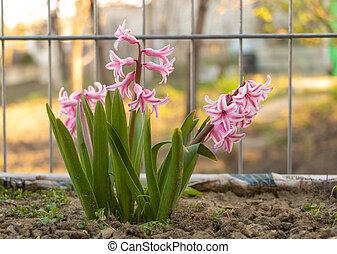fleurir, white., soin, jacinthes, comment, rose, mélangé, concept