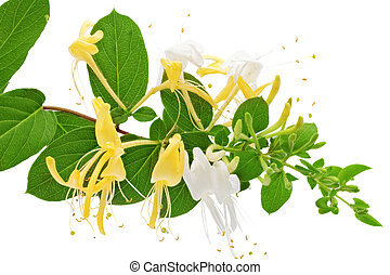fleurir, white-yellow, honeysuckle(woodbine).isolated