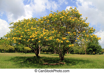 fleurs, acacia, jaune