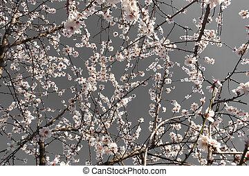 fleurs, amandier, gris, fond