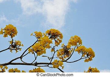 arbre fleurs jaune tabebuia tabebuia printemps arbre photographie de stock. Black Bedroom Furniture Sets. Home Design Ideas